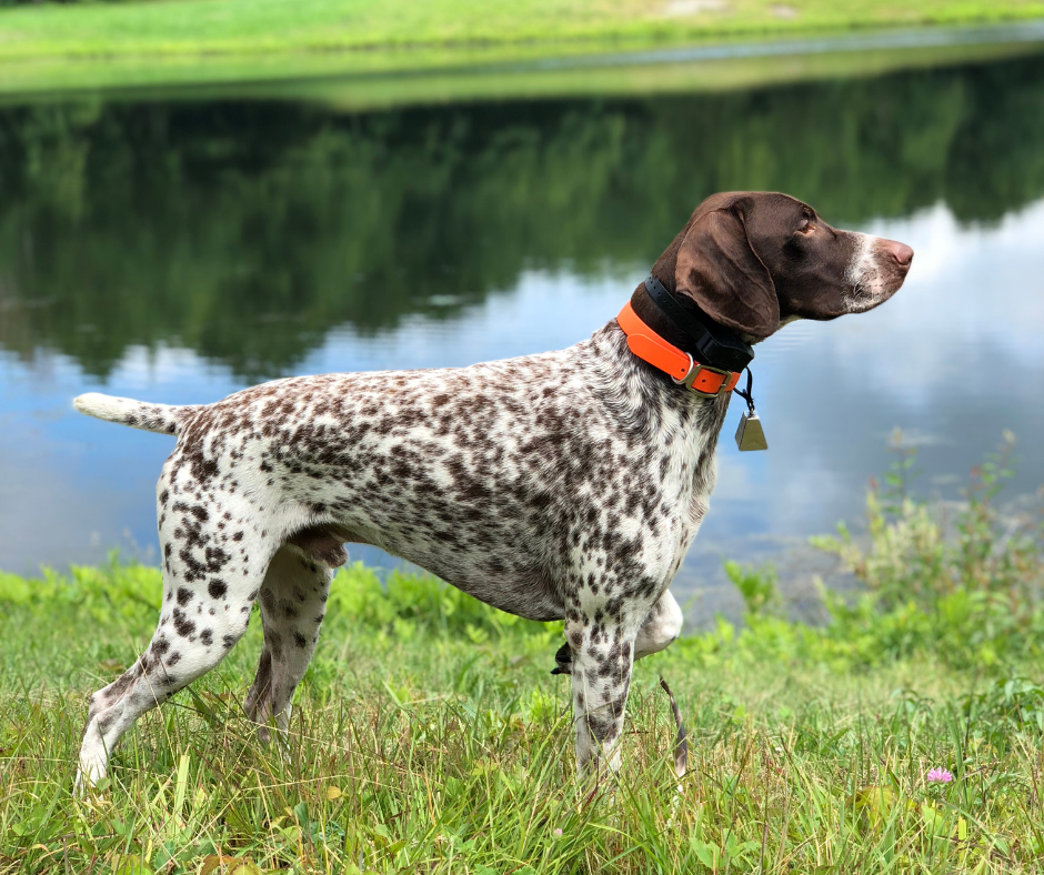can hunting dogs suffer from hearing loss