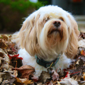 It's that time of year! Fall Means Leaf Blowers So Protect Your Dogs Hearing - we give you options and explain why you need to protect your dog. #doghearing #dogearplugs
