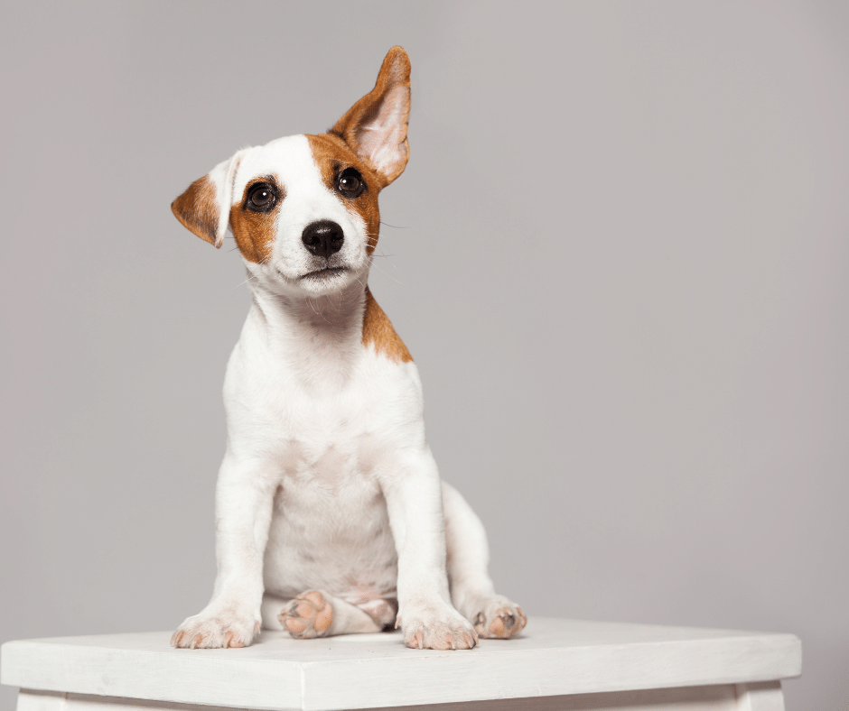 what does a dog's ears have to do with anxiety in dogs cover