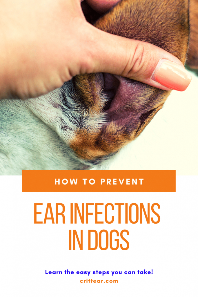 Here's how to prevent ear infections in dogs - and we give you the reasons why ear infections happen too! #earinfections #dogearinfections #doghealth