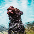 Water in dog ears - for a dog, is there anything worse? Learn how to let your dog enjoy water while also protecting their ears!