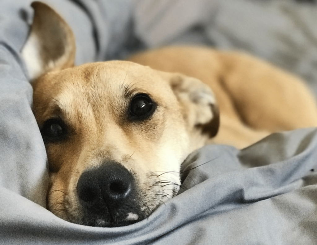 How to combat your dog's firework anxiety - dog anxiety soothe!